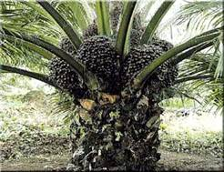 http://www.centralfloridafarms.com/palms1/africanoil-med.jpg